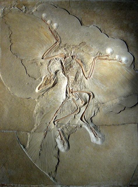 757px-Archaeopteryx_lithographica_Berlin_specimen.jpg